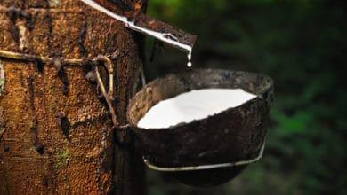 Photo of Teknik Budidaya Tanaman atau Pohon Karet